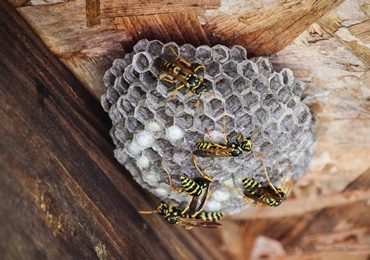 wasp & hornet nest removal near me